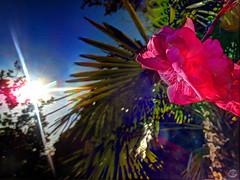 Poison Pink (splinx1) Tags: california pink blue brown sun blur flower green sol solar palm lensflare flare handheld sunburst poison dogbane nr oleander hdr contrejour oof poisonousplant neriumoleander chdk canonpowershotehlp330hs