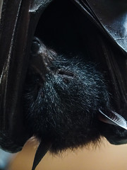 flying fox asleep (gryphon1911 [A.Live]) Tags: columbus zoo bat flyingfox blp bestlightphoto