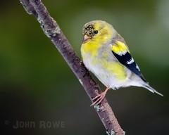 Spring Molt (John I Rowe) Tags: bird animal photography spring vermont outdoor newengland april molt northeastkingdom americangoldfinch songbird nek 2016 wildbirds islandpond
