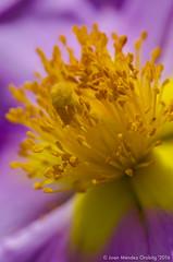 Macro_La Tossa 041 (jomendro) Tags: macro planta animals flor natura plantes macrofotografa abelles latossademontbui