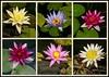 2016-02-02 - Lovely Lilies (dangle earrings) Tags: sydneybotanicalgardens waterlilly dangleearings