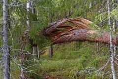 Torn and twisted tree (mrpb27) Tags: tree norway forest norge nikon skog trunk torn twisted vestfold mrpb27 18200mmf3556gedifafsvrdx d5200