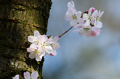 Cherry Blossom (tamahandy) Tags: flowers germany de bayern nrnberg stadtpark
