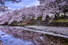(DSC_3032) (nans0410(busy)) Tags: reflection japan cherry outdoors spring scenery kyoto blossom   sakura kansai    kameoka     kinkiarea