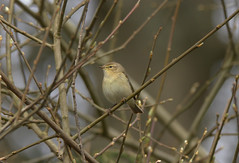 chiffchaff........Phylloscopus collybita (gus guthrie1) Tags: bird nature birding scottish migration warbler plumage chiffchaff