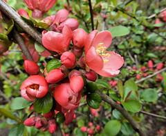 Japanische Zierquitte (Gertrud K.) Tags: flowers orange macro chaenomeles rosaceae