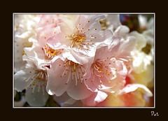 Cherises (patrick.verstappen) Tags: flowers macro texture garden photo yahoo google nikon flickr belgium pat sigma april textured facebook picassa cherises gingelom ipernity d5100 pinterest ipiccy picmonkey