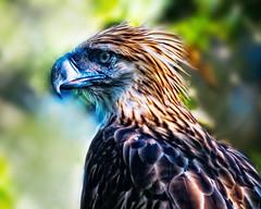Philippine Eagle (MalNino) Tags: predator birdofprey mindanao philipppines monkeyeationgeagle