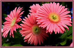 Gerberas roses - Pink Gerbera (Huguette T.) Tags: pink flowers rose gerbera ptales coth5