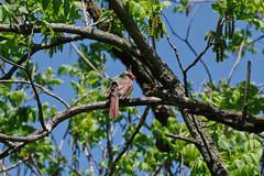 cardinal (pepperberryfarm) Tags: cardinal dal55300mmf458ed
