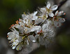Blackthorn flowers (conall..) Tags: flowers macro rural blossom country hedge prunus prunusspinosa dcr250 raynox spinosa 300416 blackthhorn