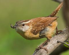 Hunter-Gatherer (evilpigeon777) Tags: philadelphia bug hunting carolina wren heinz