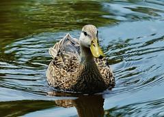 Mottled Duck (Susan Roehl Thanks for 5.1 M Views) Tags: florida panasonic naples mottledduck 100300mmlens nonmigratory coth5 fulvigulafulvigula lumixdmcgh4 backyard2016 sueroehl twodistincepopulations occasionallyingeorgia mostfrequentlybanded