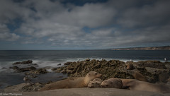 Slow Shutter Speed Sea Lions 3 (Mister-Tee) Tags: california sandiego lajolla sealions slowshutterspeed lajollacove