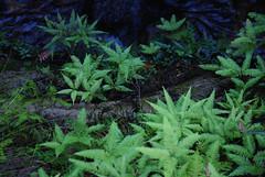 Green Stars (stoelting.chris) Tags: park blue plants mountains green rain creek forest river waterfall rainforest sydney australia national cascades nsw ferns