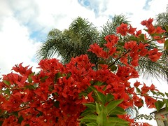 Lively Bougainvillea (mikecogh) Tags: clouds palms bright lively woodville bougainvilea