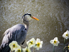 Inge Hoogendoorn (ingehoogendoorn) Tags: bird heron water birds fishing vogels daffodils vogel herons narcissen