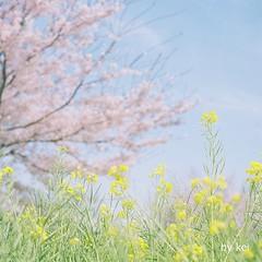 * (k) Tags: flower hasselblad500cm filmkodakportra160