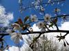 Blossom Branch (Gilder Kate) Tags: sky clouds lumix blossom bluesky surrey panasonic april abinger whiteblossom panasoniclumix uptothesky whitedowns whitedown tz70 dmctz70 panasoniclumixdmctz70 whitedownwood