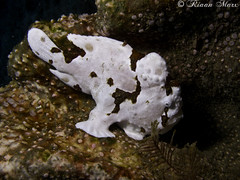 Painted frogfish - <i>Antennarius pictus</i> (RiaanMarx) Tags: brown white fish animal underwater painted gray wide pick frogfish bony pictus antennarius lrboltonv31 sodwana201403