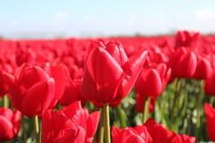 Tulips (dariusz_ceglarski) Tags: park flowers plant flower holland netherlands dutch closeup canon tulips nederland natuur zeeland tulip netherland holanda nl tuin hollands goeree niederlande tulpen holand zuidholland goereeoverflakkee netherlads tulipes dariusz flakkee holandsko tulipany holandia hollanda southholland tlpanar dirksland nederlando ceglarski holadnia goereeover dariuszceglarski