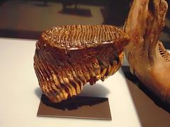 You Drive me Grazy (Hydra5) Tags: mammothsandmastodons ontariosciencecentre teeth grazer prehistoric