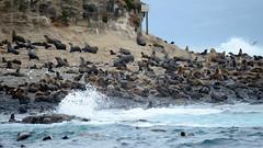 Seal Rocks   Nobbies   Phillip Island   Victoria   Australia (Ben Molloy Photography) Tags: sea wild animals fur island rocks waves wildlife australia sealife victoria seal seals phillip colony   nobbies