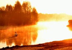 """ Swan in sunrice light "" (Kalbonsai) Tags: trees light sun water germany swan nikon wildlife 1855mm waterscape sunrice zwaan dreilndersee d5100 naturphotography"