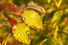 Rain Drops On The Rose Bush (Back Road Photography (Kevin W. Jerrell)) Tags: macro beauty rain droplets spring earlymorning dew waterdrops closeups nikond60 macrolife frontporchphotography