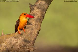 Brown Winged Kingfisher!!(_J1C9511-2)