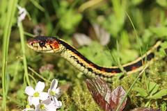 Slender Snake (Tyrannodactyl) Tags: red macro garter animal reptile snake smooth scales slender sided