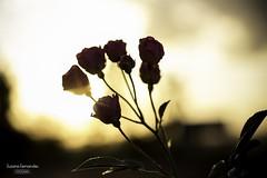 'Jardim em flor..' (Suzana Fernandes Fotografia) Tags: santa flores flower luz sol rio rural grande do maria natureza flor rosa jardim campo contra sul entardecer simplicidade simples
