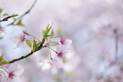 sakura (kenta_sawada6469) Tags: pink flowers trees plants white plant flower macro tree nature colors japan cherry spring cherryblossom sakura