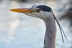 Grey Heron Portrait (paulinuk99999 - just no time :() Tags: park portrait london eye heron yellow grey bill dusk wildlife harry surrey beady bushy paulinuk99999 sal70400g