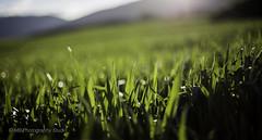 grassokeh (mamuangsuk) Tags: field grass dof bokeh country depthoffield groundlevel cultivation sunflare 6d greenworld ef50mmf14usm razterre mamuangsuk grassokeh