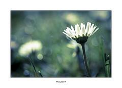 PhM - Rves de jardin (17) (Philippe Em) Tags: flower green fleur vert daisy bellisperennis pquerette