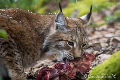 Luchs / Lynx (Doris & Michael S.) Tags: animals tiere lynx lince luchs