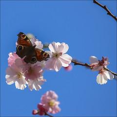 Le premier de l'anne (chando*) Tags: flowers brussels fleurs butterfly insect square bruxelles papillon cherryblossom printemps insecte springtime carr paondujour cerisierdujapon