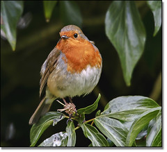 Red Breast (EOS 400D) Tags: light red colour detail bird robin breast