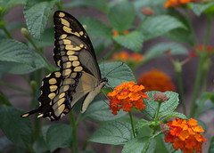 Dream big (KsCattails) Tags: black butterfly giantswallowtail insect kansas lantana macro nature orange outdoor overlandparkarboretum red summer yellow nikon d7000 kscattails opagc