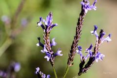 Natural (libretacanaria) Tags: flores grancanaria natural canarias lilas thecanaryislands barrancodeloscerncalos
