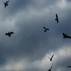 Bandada #gaviotas #aves #birds #seagulls #gabbiano #fly #vuelo #cielo #sky #siluetas #shapes #bandada (Carolina_BCN) Tags: sky seagulls birds fly shapes aves cielo gaviotas siluetas gabbiano vuelo bandada