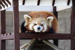 20160109 Hamamatsu Zoological Gardens 4 (BONGURI) Tags: eye animal zoo nikon panda jp  shizuoka hamamatsu    nishi    lesserpanda       d3s afsvrzoomnikkored70200mmf28gif nishiward hamamatsuzoologicalgardens