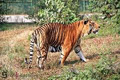The Royal Bengal Tiger / The King Of Wild Life (Sakib khan (Doshore Prithibir Nishongo Aloe)) Tags: zoo dhaka bangladesh pantheratigris felidae baagh royalbengaltiger