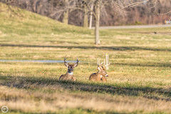 Soaking in the sun on a cold morning (Mike Matney Photography) Tags: nature canon illinois midwest wildlife january deer antlers buck whitetail 2016 cahokiamounds eos7d