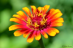 Spring Fever (LaLens) Tags: pink orange color nature colorful bright bokeh manual zinnia 105mm
