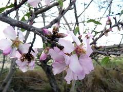 Amandier rose (brigeham34) Tags: france hiver eu arbres campagne fvrier languedocroussillon hrault pouzolles amandiersenfleurs marchedujeudi fz45 cantomerlepouzolles