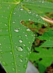 Waterdroplts 16 (Luzon Jim) Tags: plant macro nature leaf outdoor foliage waterdrops xperia