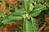 Withania Somnifera | Medical Benefits of Withania Somnifera (archana.gupta24) Tags: medical musli benefits withania somnifera