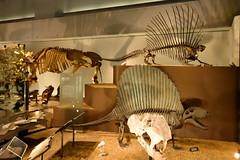 Dimetrodon (ディメトロドン) (Bri_J) Tags: japan museum tokyo 日本 東京 上野 uenopark dimetrodon 上野公園 国立科学博物館 nationalmuseumofnatureandscience ディメトロドン
